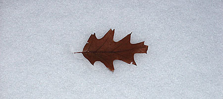Leaf in snow, Rochester, NY