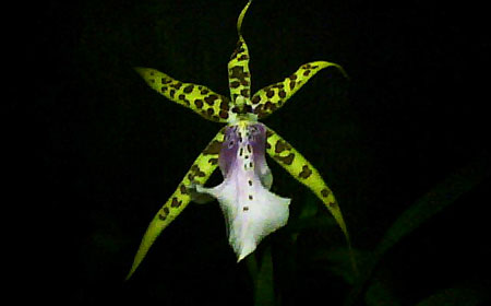 Orchid in Rochester New York