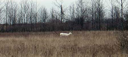White deer near the old Seneca Army Depot