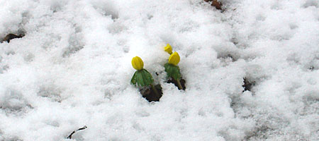 Winter aconite flowers in the snow.
