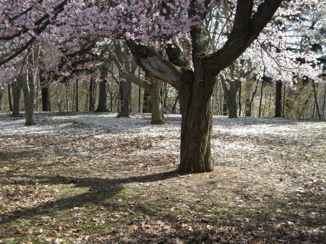 Spring blossoms in Durand Eastman Park