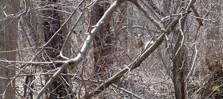 Deer in the woods.