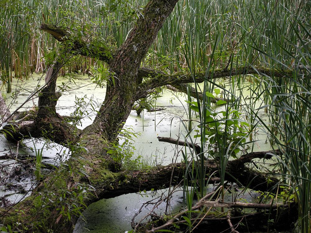 Fallen tree in Eastman Lake