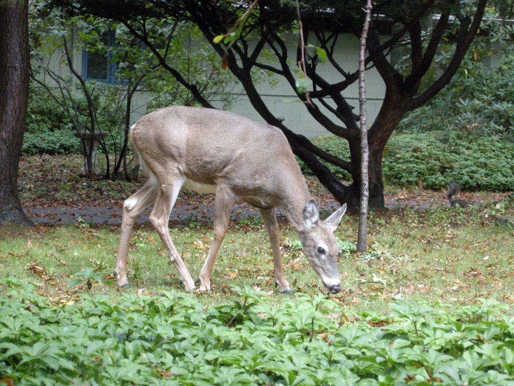 Deer eatting acorns in the front yard