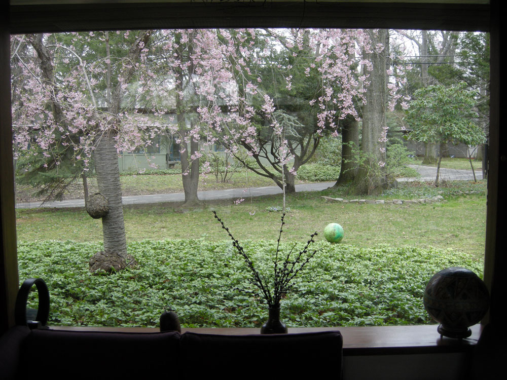 Cherry tree in bloom out front