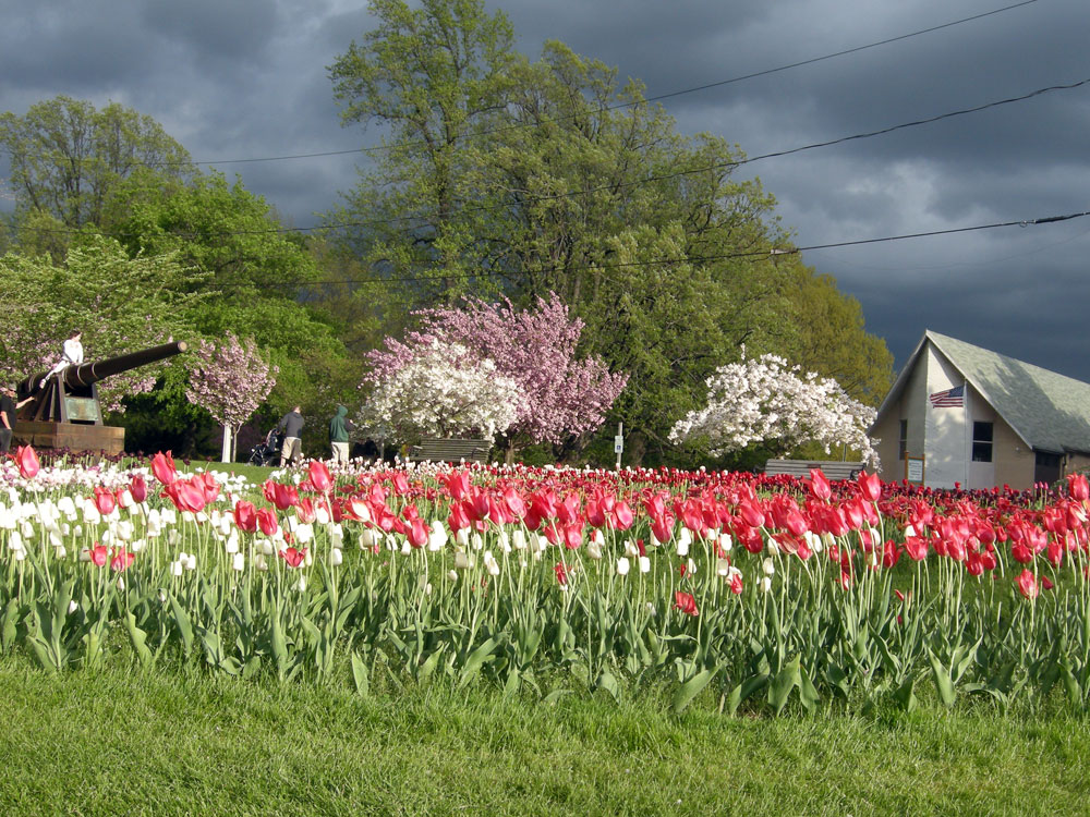 Tulips in Highland Park, Rochester NY