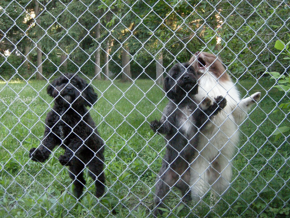 Three yapping dogs behind a fence