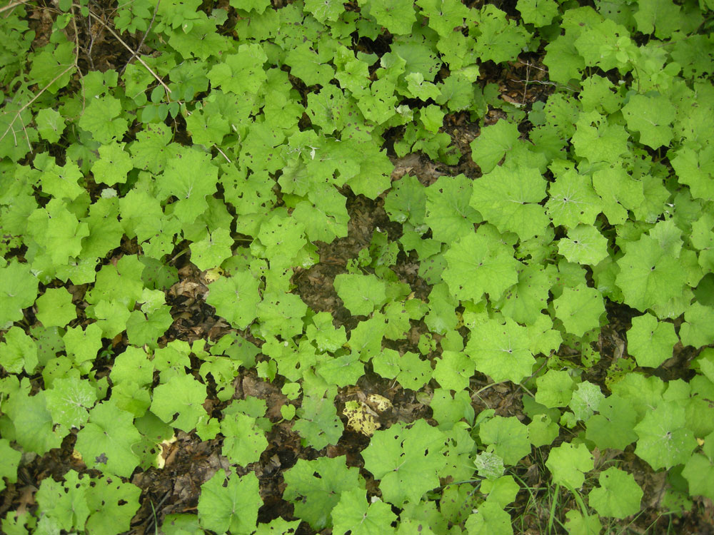 Green ground cover in woods of Western New York