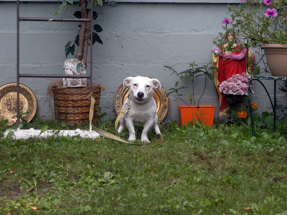 White Pit Bull with Jesus in Rochester, New York