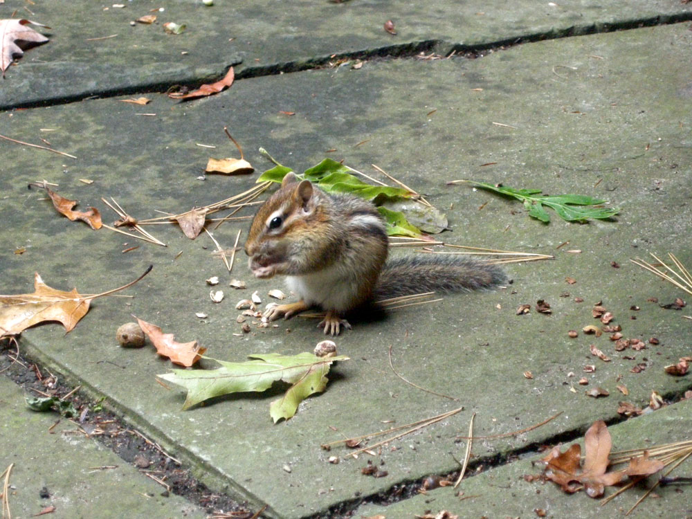 Chipmunk With Nut in Fall, Rochester, NY