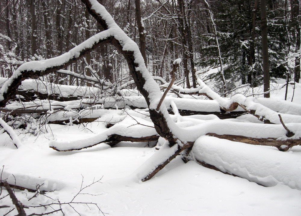 Snow covered fallen trees