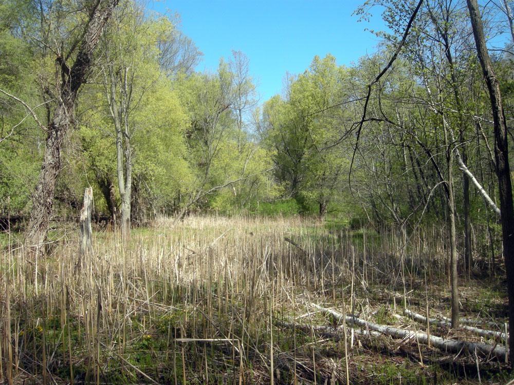 Marsh near Lake Ontario in Spring