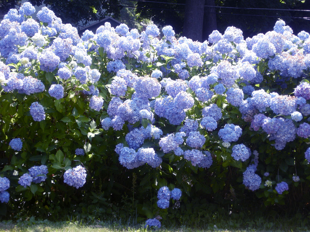 Hydrangeas in yard off Rocket Street in Rochester, NY
