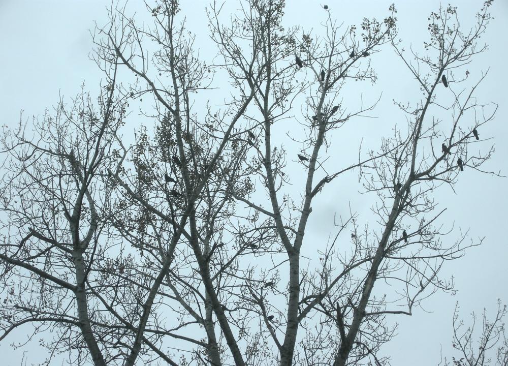 Black birds in trees