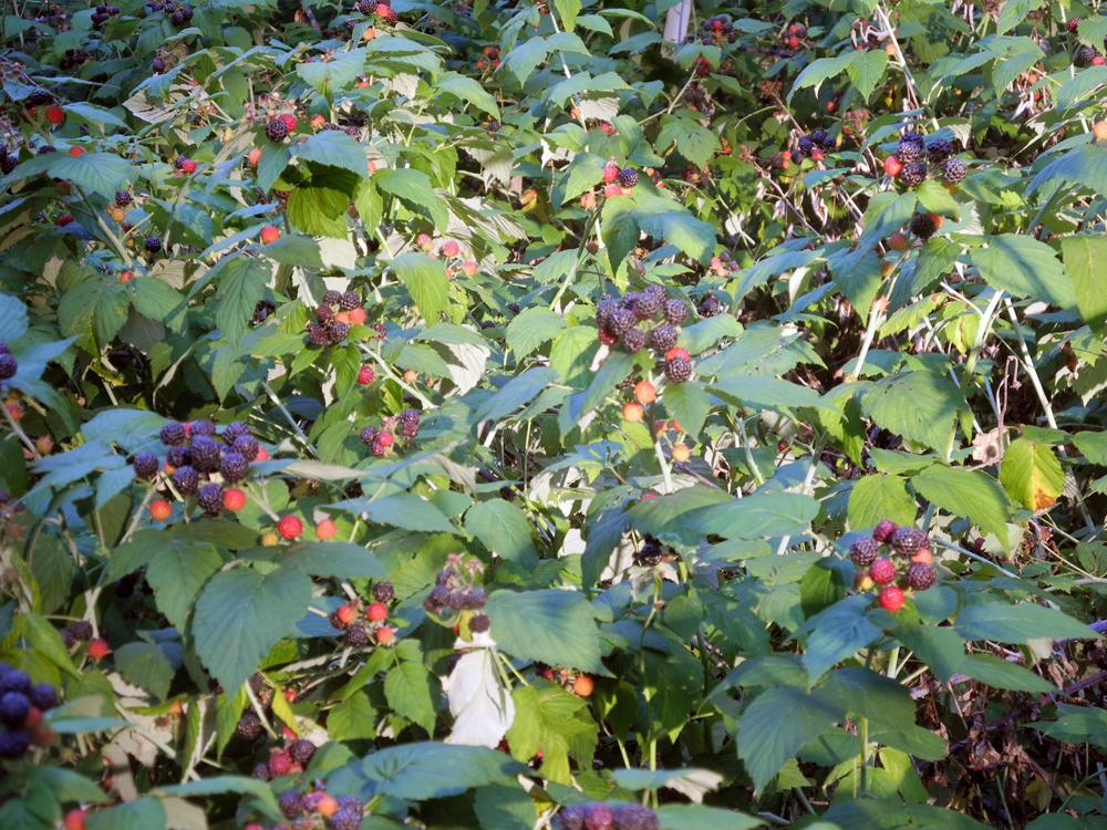 Rasberries in Leo's garden