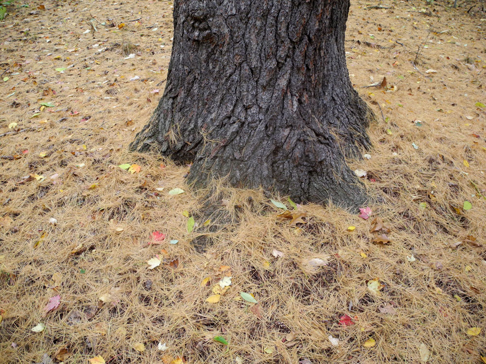 Tree surrounded with pine needles in woods