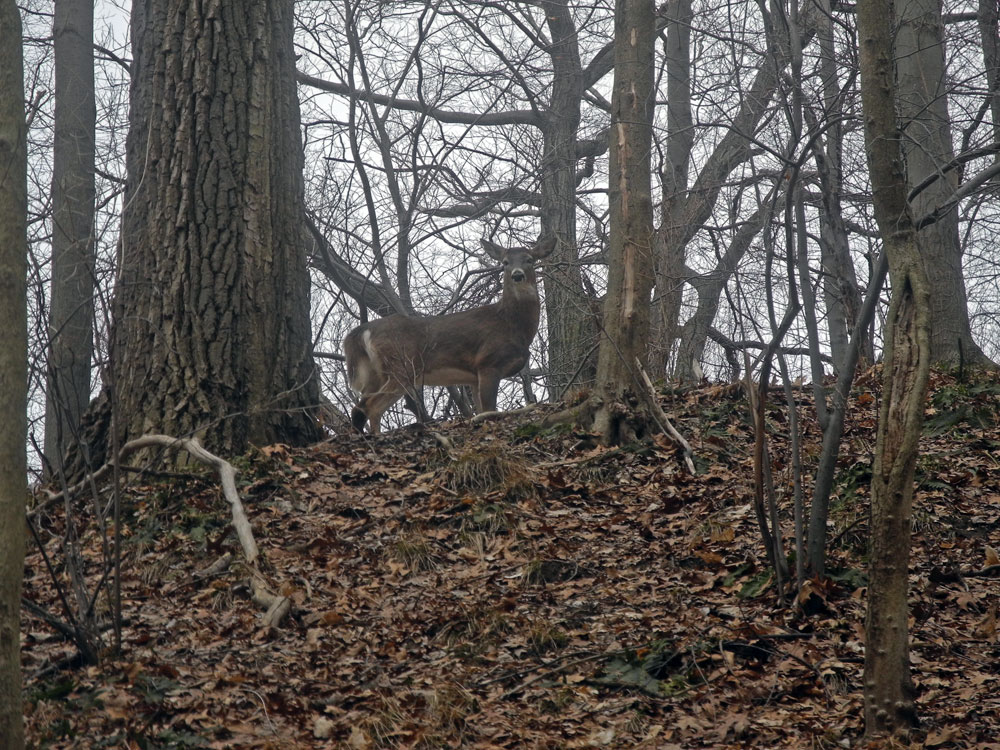 Deer in woods without rack