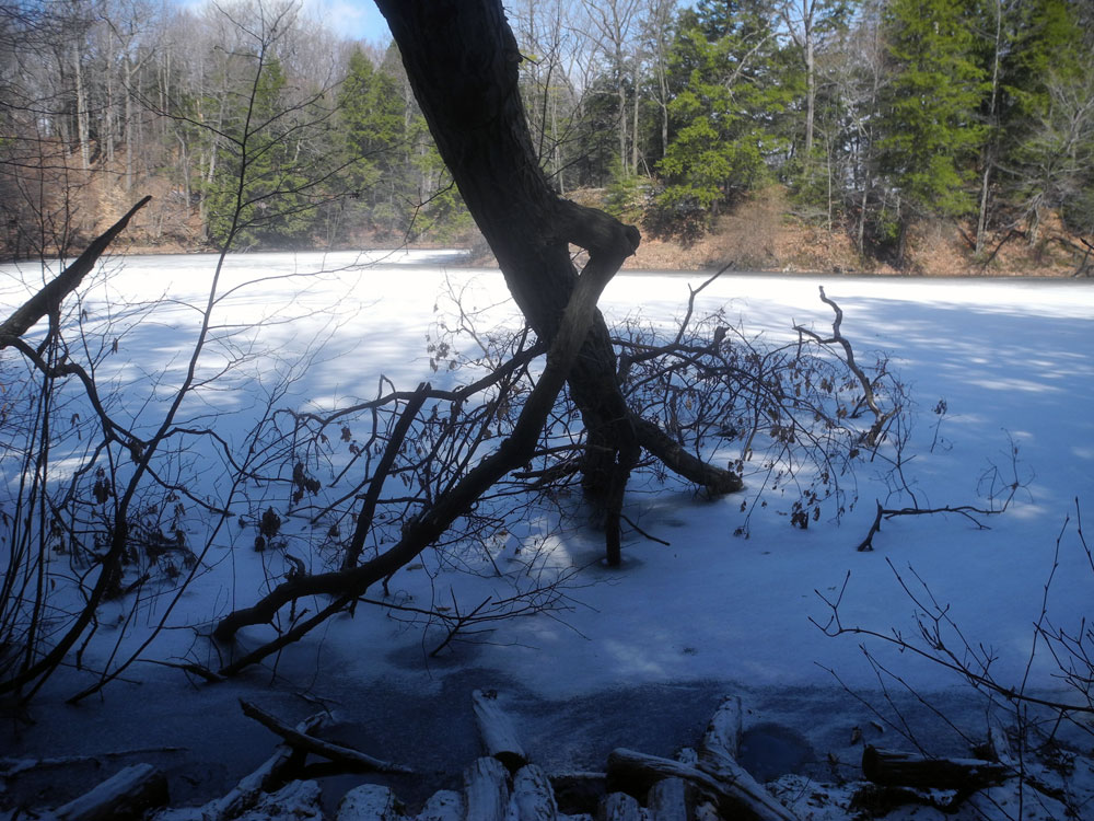 Fallen tree in the ice near Lake Ontario