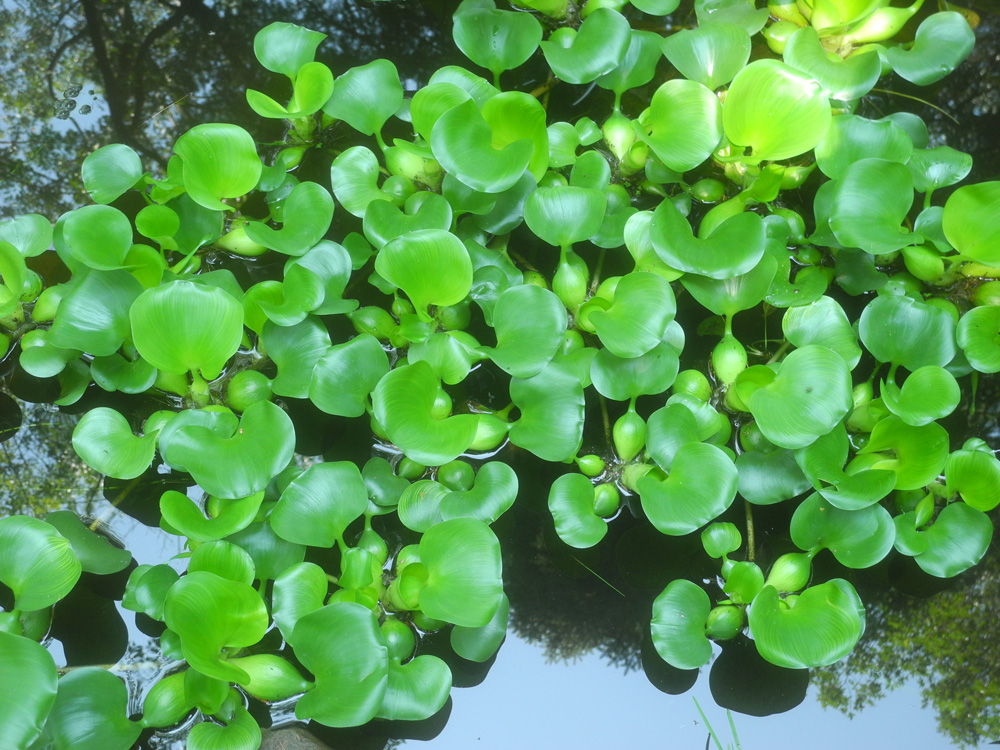 Green plants in neighbor's pond