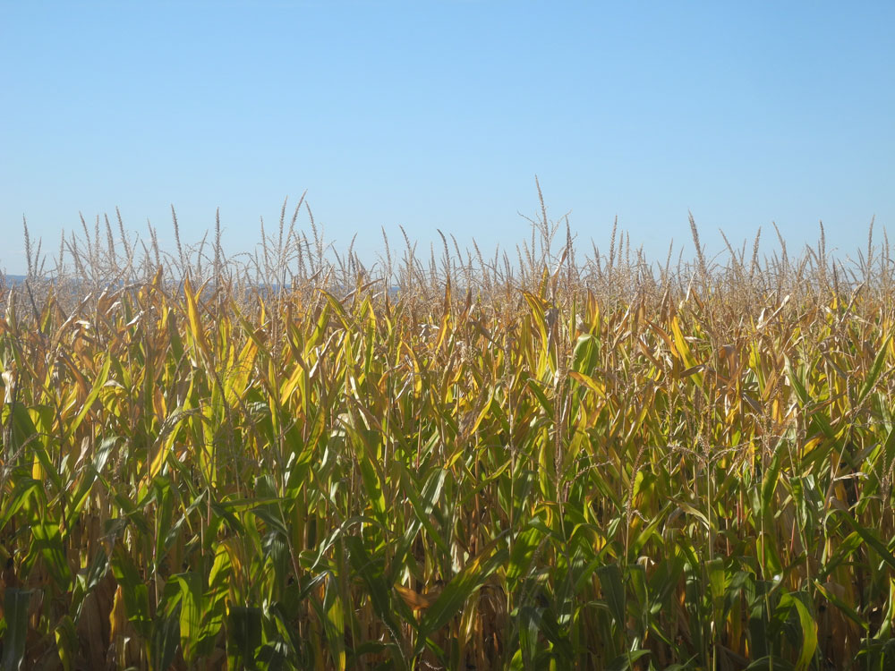 Gloden corn field in October