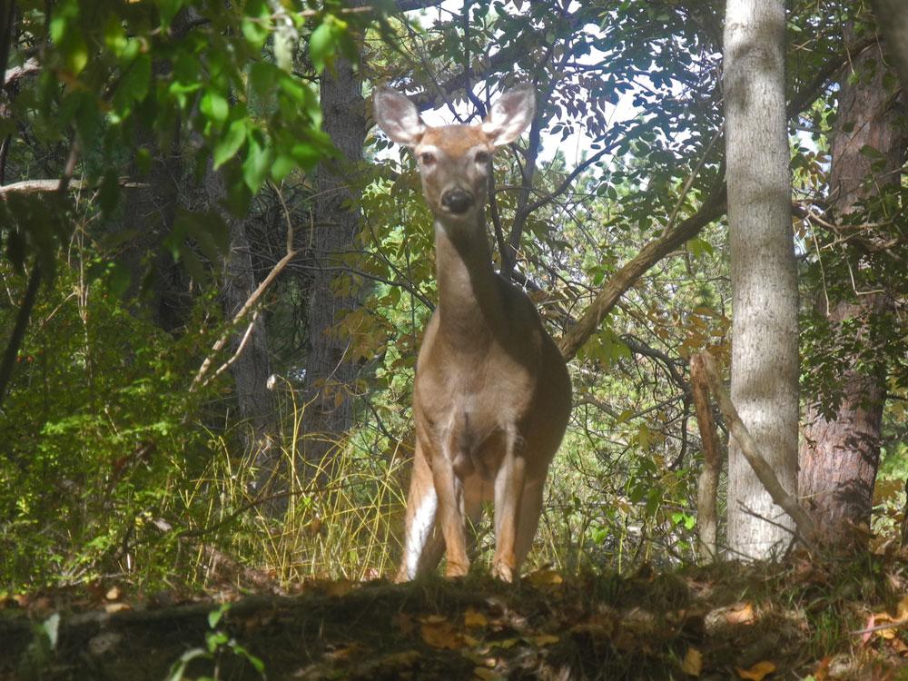Lone deer stares us down