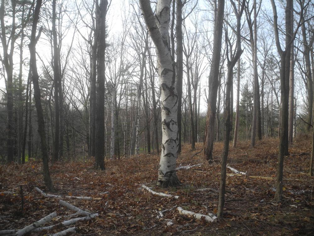 Birch tree with fallen limbs in November