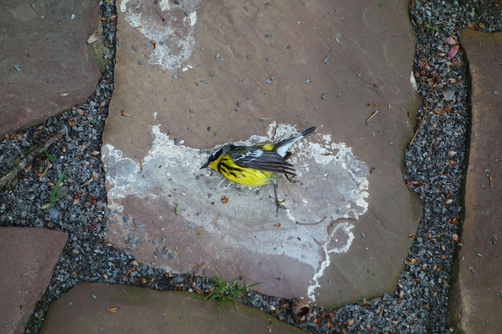 Magnolia Warbler on our patio in Rochester, New York
