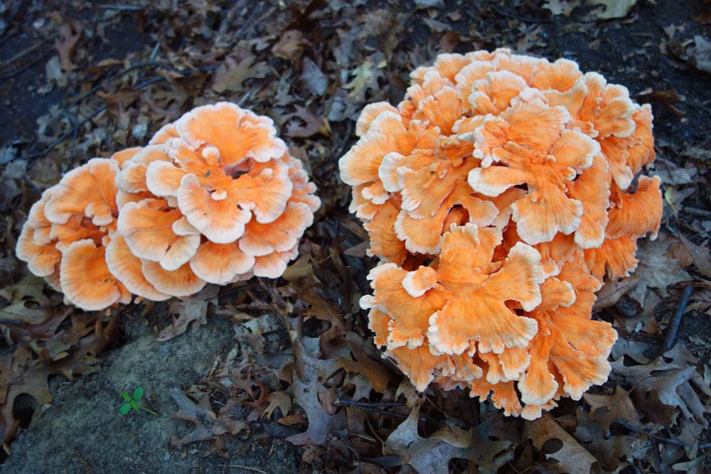 Mushrooms down back, Rochester, New York