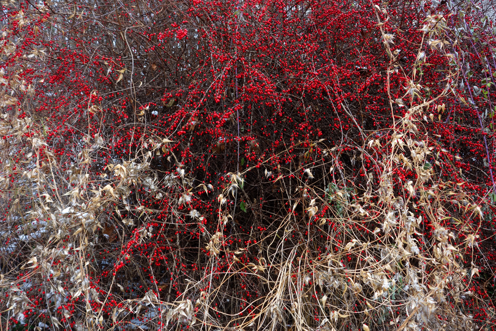Red berries and tan vine on bush