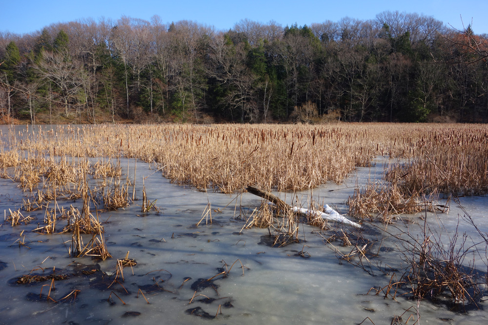 Frozen marsh with cattails, Lake Eastman in Rochester, New York