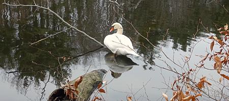 Mute swan (invasive species) Lake Eastman, Rochester, New York