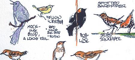 Leo Dodd Bobolink sketches from former meadows on Westfall Road