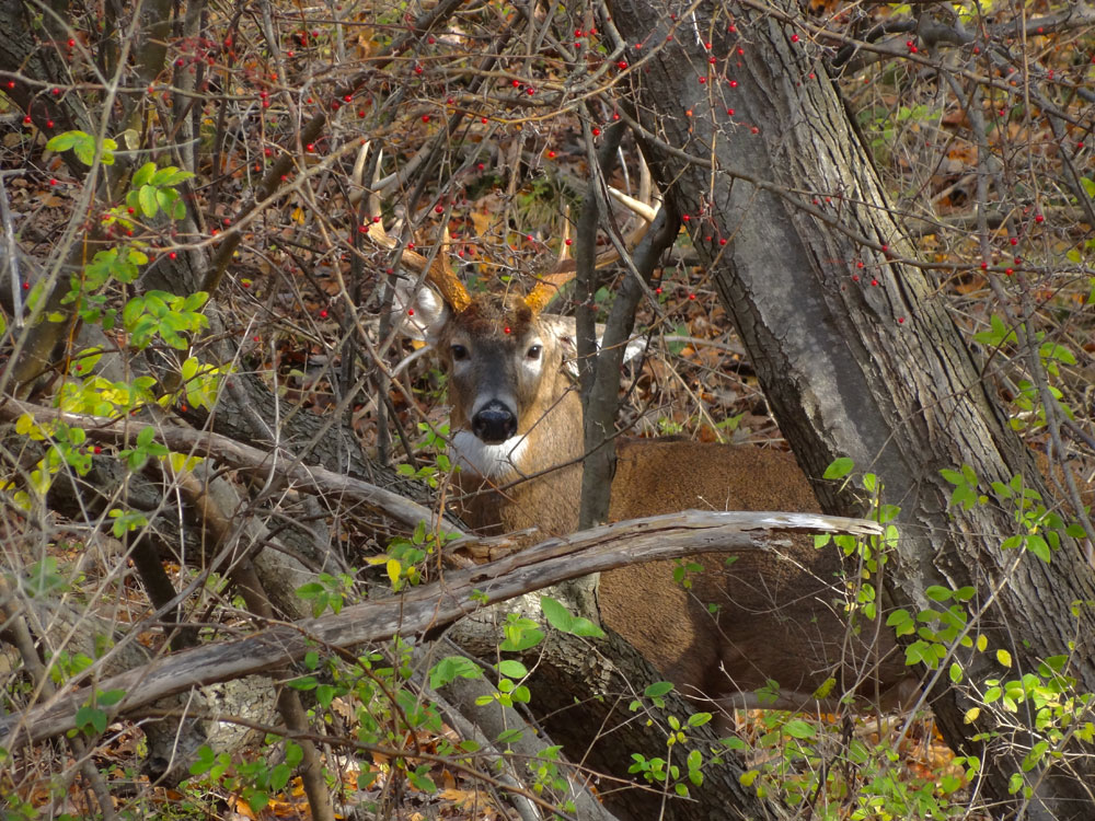 Close up of buck on Hoffman Road in Rochester, New York