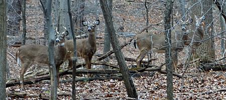 Four bucks in woods near Durand Eastman Park in Rochester, New York