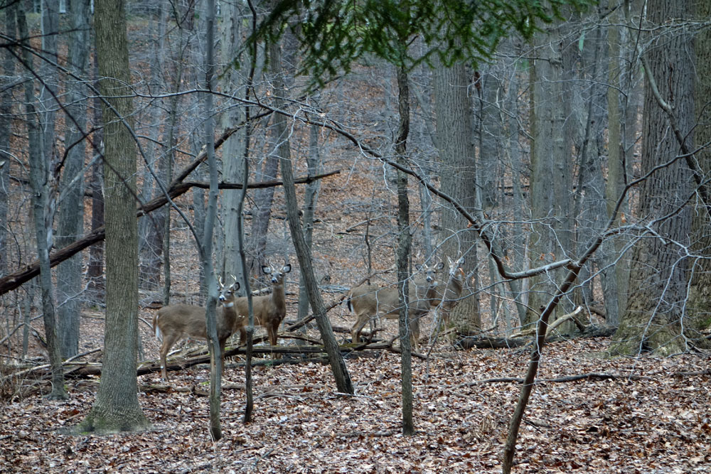 Four bucks in woods near Durand Eastman Park in Rochester, New York