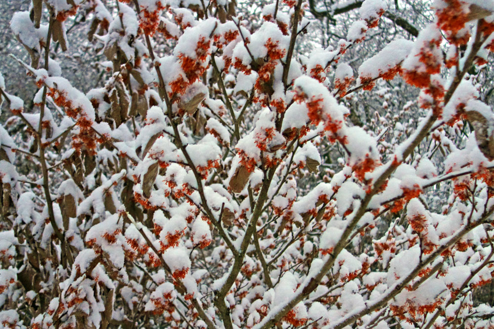 Durand Eastman Witchhazel blossoming in JanuaryBlossom
