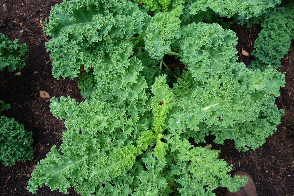 Kale in the garden 2016