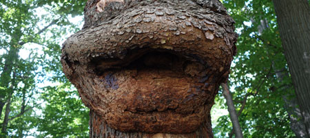 Tree with big lips in woods near Durand Eastman