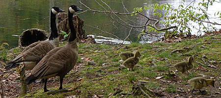 Two geese and four baby geese on Durand Lake