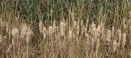 Autumn weeds in the marsh on Hoffman Road