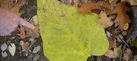 Big leaf in woods near Lake Ontario