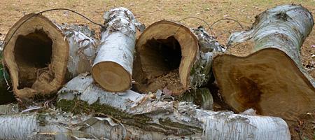 Fallen birch tree with wire, Rochester, New York