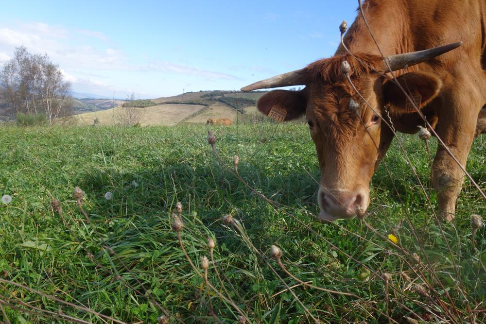 Cow along the Camino de Santiago near O'cebreiro