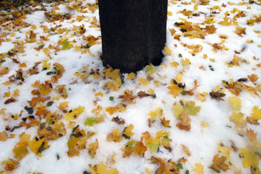 Yellow leaves around tree in snow