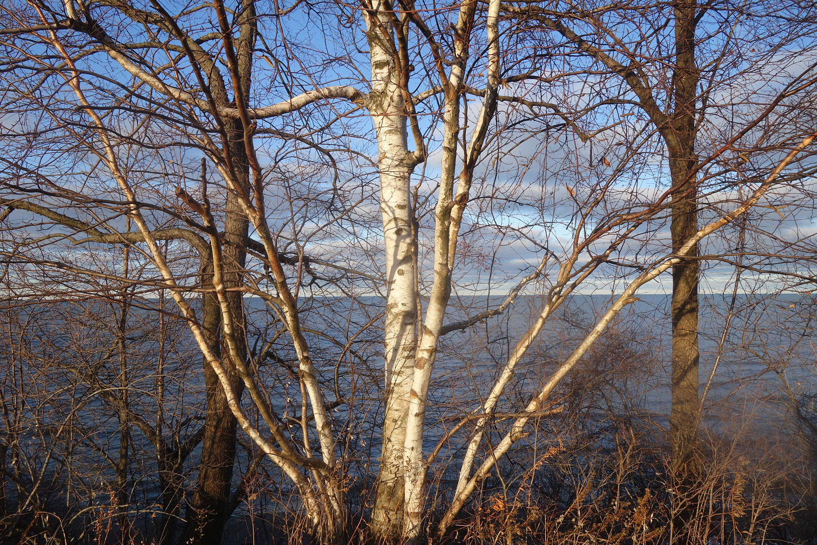 Birch tree along shore of Lake Ontario at Durand Eastman Park