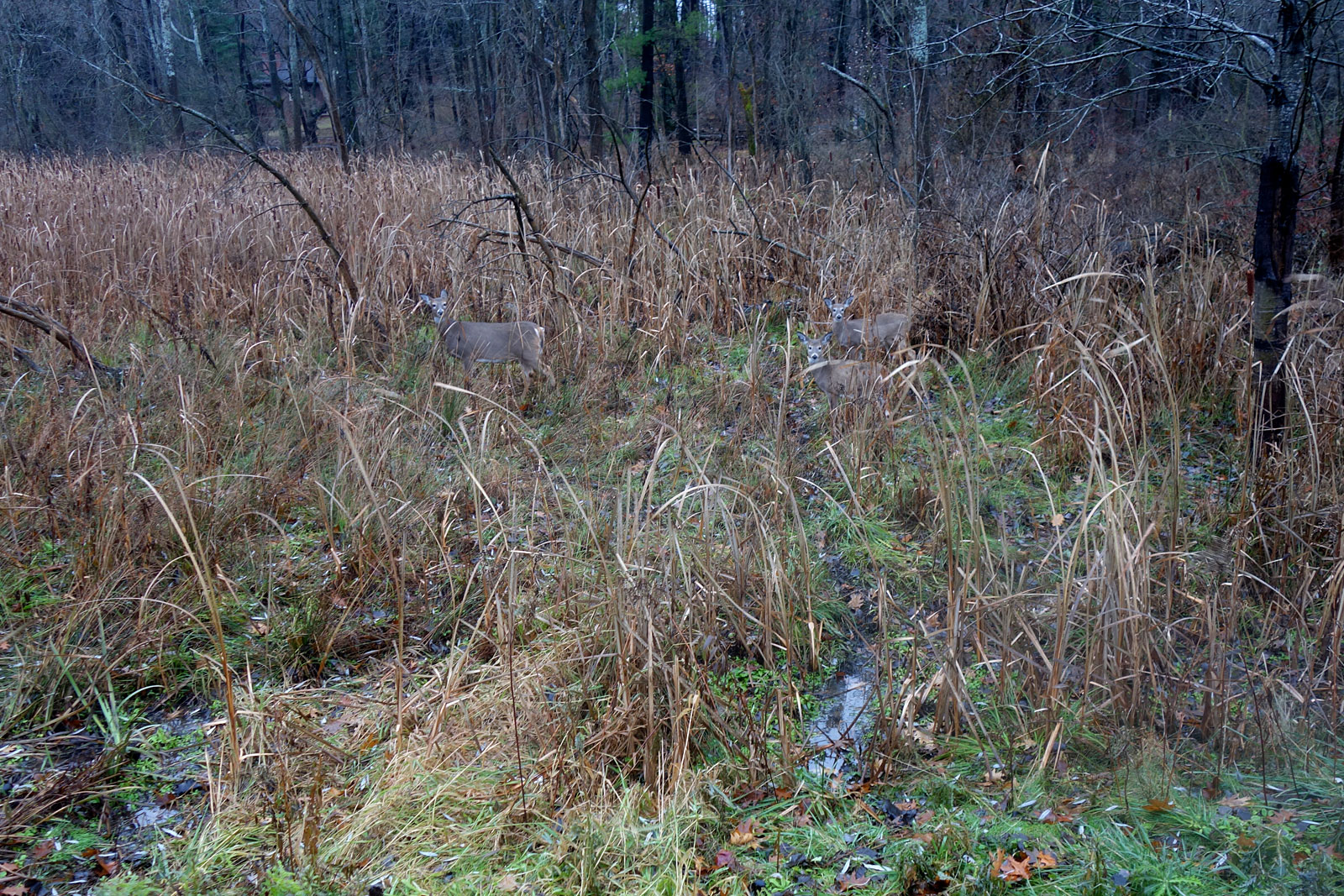 Three camouflaged deer on Hoffman Road in Rochester, New York