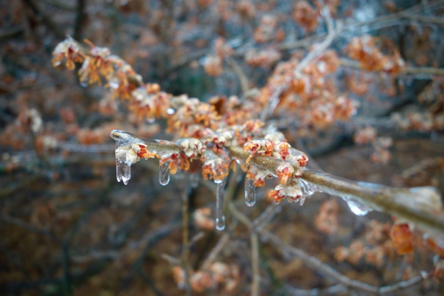 Ice covered Witch Hazel in Durand Eastman