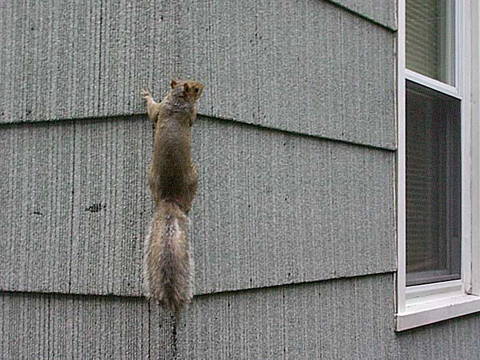 A squirrel climbs up the asphalt shingles on Sparky's house.