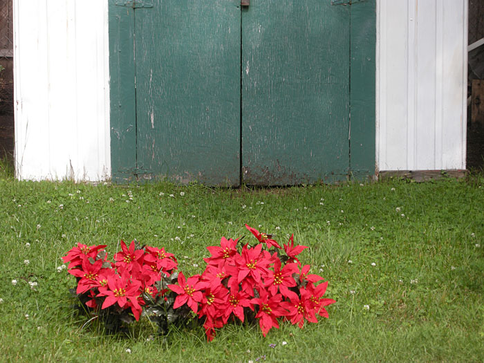 Sparky planted fake Poinsettias in the spot where his daffodils were.