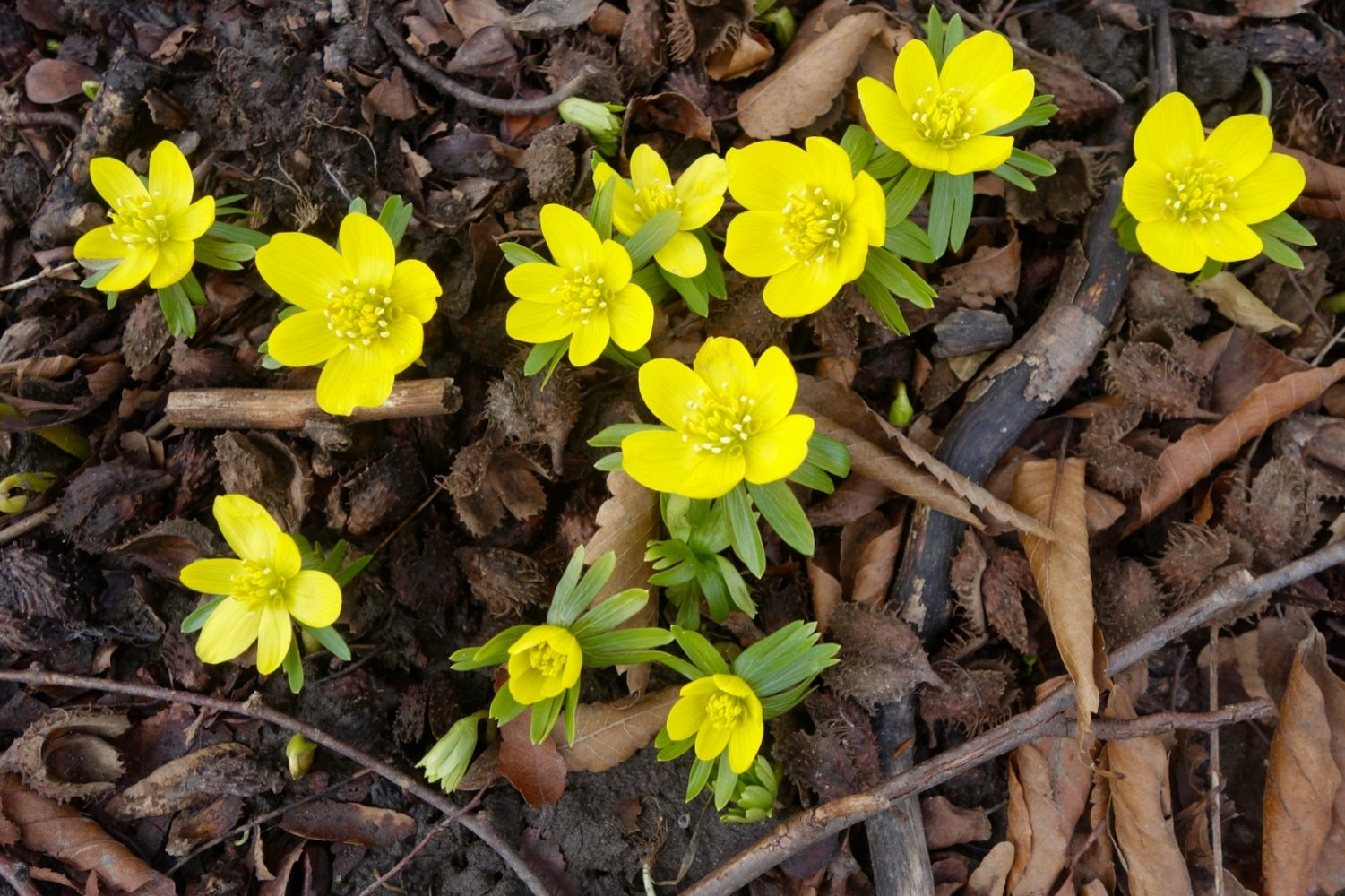 Winter Aconite in full bloom for the past week 2019